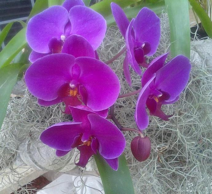 SET OF (100)  Air plants - Terrariums - Wedding favors - Tillandsia air plants