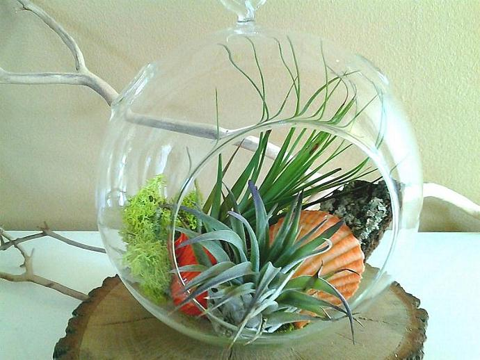 TROPICA- A beautiful terrarium with 2 Premium Air plants, Orange Scallop shell,