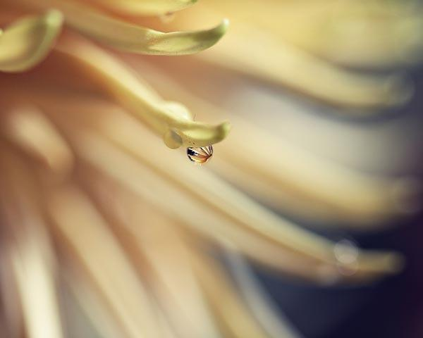 Pale Yellow Flower Photograph - spring water drop nursery decor macro home decor