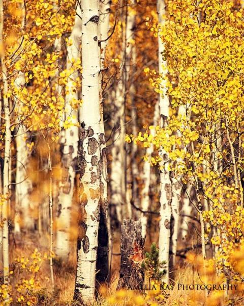 Autumn Woodland Photograph - Aspen Trees - Fall wall decor tree yellow forest