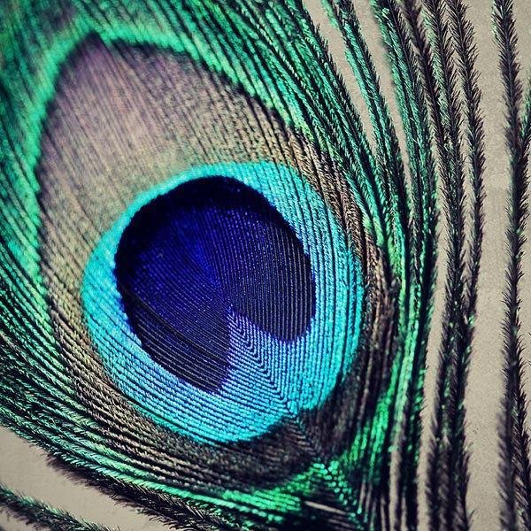 Peacock Feather Photography - Fancy Peacock Feather - nature abstract macro teal