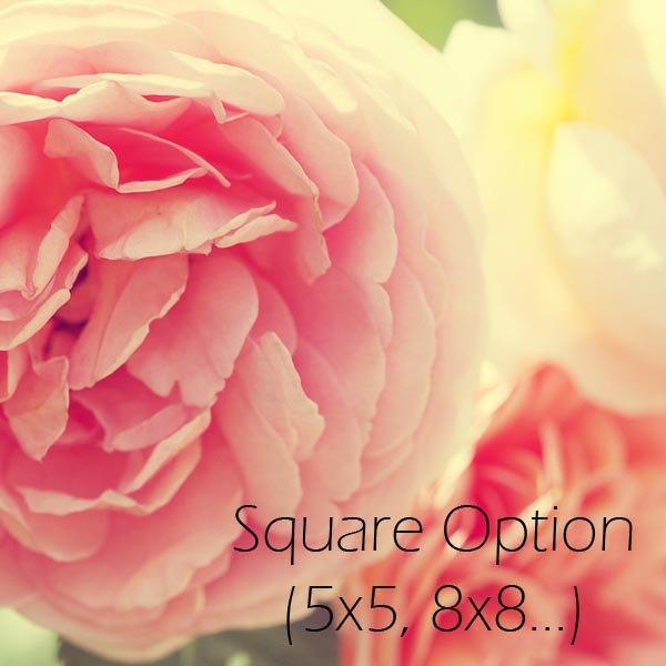 Nature Photograph - Loves Whisper - 8x10 flower Peach Pink romantic white yellow
