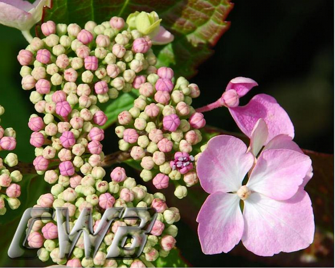Beautiful Buds fine art print of pink Hydrangea