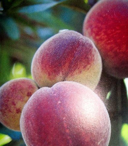 peach jam direct from the orchard