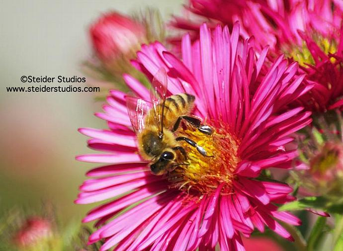 Honey Bee on Pink Flower Nature Photo All Occasion Greeting Card