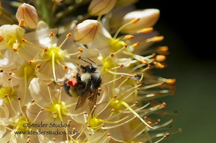 Bumble Bee Rolls in Yellow Foxtail Garden Lily Nature Photograph All Occasion
