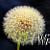 Yellow Dandelion fine art print
