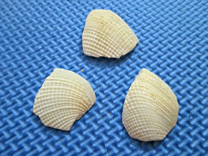 Pieces of Broken Shell Set of 3