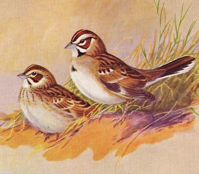 1955 Sparrows By Allan Brooks Wild Bird Print To Frame