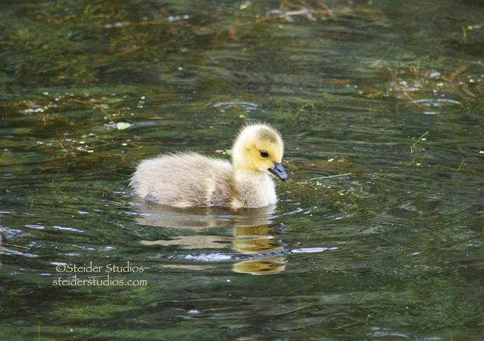 Fuzzy Yellow Baby Gosling Swimming Alone with Water Rippling Nature Photograph