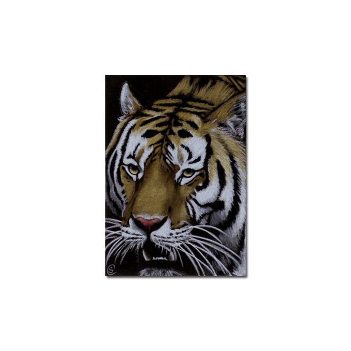TIGER 27 portrait big cat feline pencil painting Sandrine Curtiss Art Limited