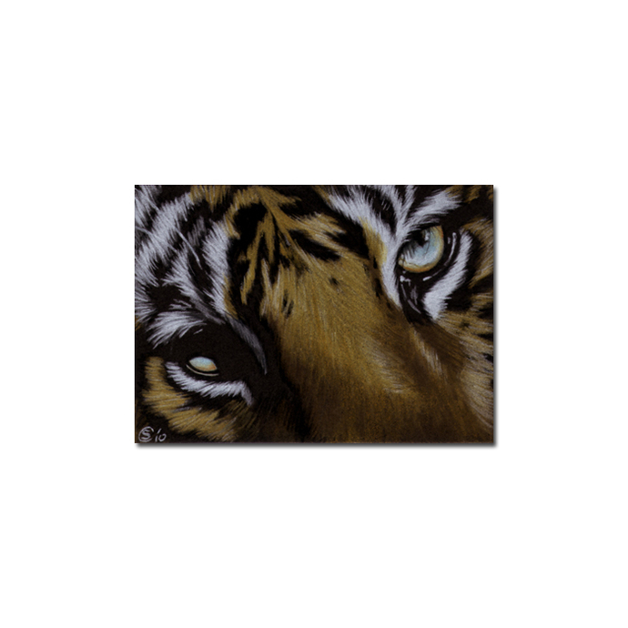 TIGER 30 portrait big cat feline pencil painting Sandrine Curtiss Art Limited