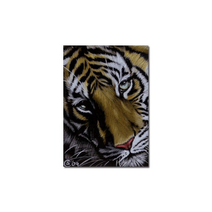 TIGER 26 portrait big cat feline pencil painting Sandrine Curtiss Art Limited
