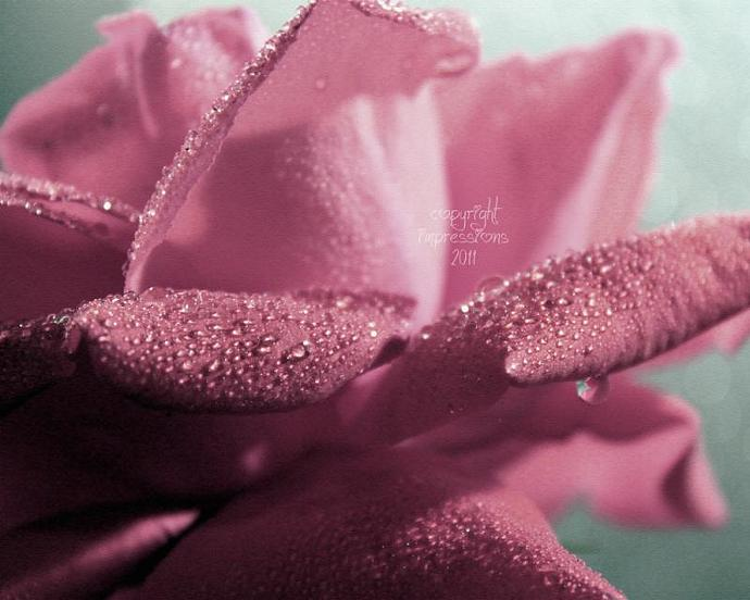 Pink Dew Rose, One 8x10 Print, Fine Art Photography