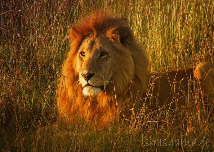 "Dawn light on wild lion 5 x 7"" fine art photography print - wild, big cat,"