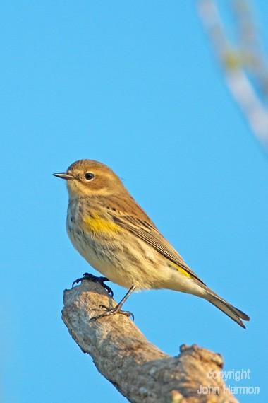 A Yellow-Rumped Warbler Fine Art Bird Photo