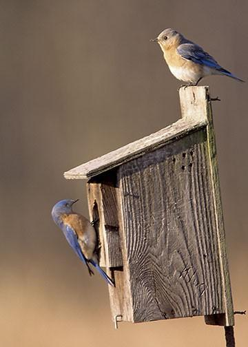Blue Bird Couple Sitting on Birdhouse Fine Art Photo