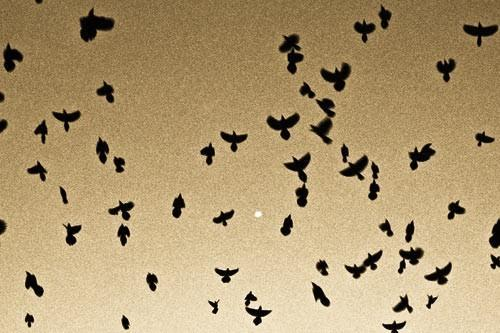 Sepia fine art photography of Grackles in Flight