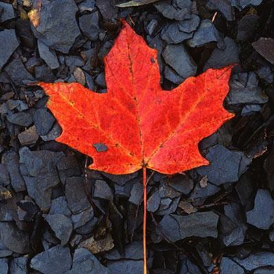 Fall Color a Red Maple Leaf Fine Art Photo