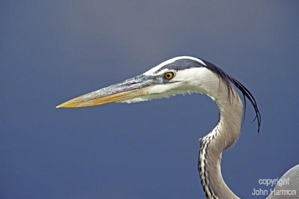 A Portrait of a Great  Blue Heron Fine Art Bird Photo