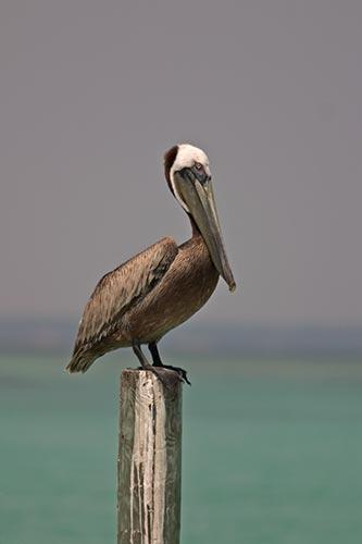 Brown Pelican Sitting on a Piling Florida Gulf Coast Photo