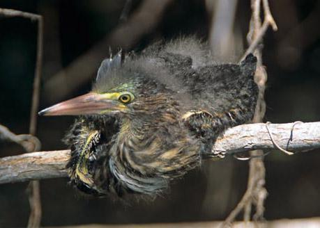 Baby Green Heron Lounging on a Branch
