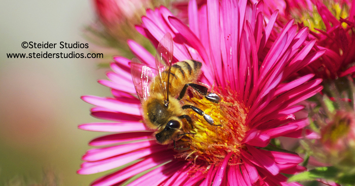 Original steider studios.bee on pink asters