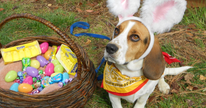 Original easter beagle